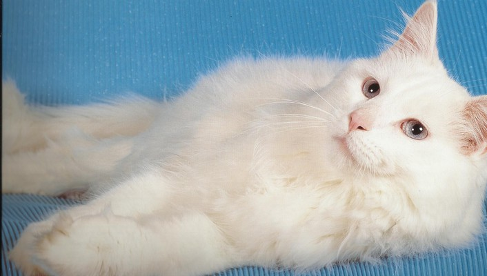 Fluffy white cat wallpaper