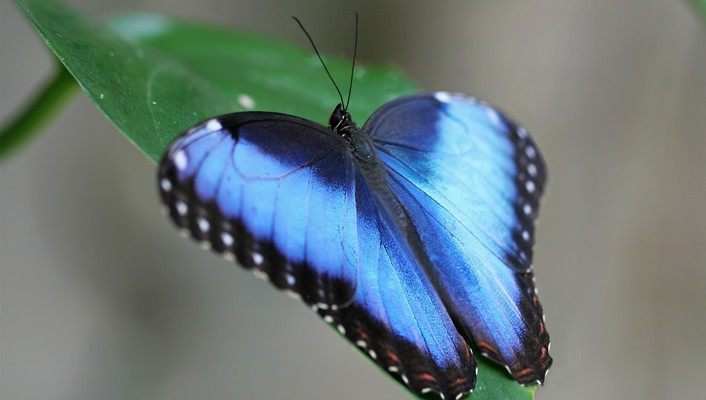 Blue butterflies insects leaves wallpaper