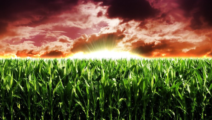 Agriculture corn crops nature wallpaper