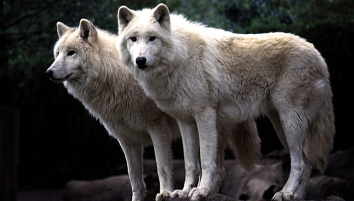 Animals canine wolves wallpaper
