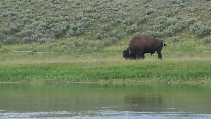 Grazing american bison wallpaper