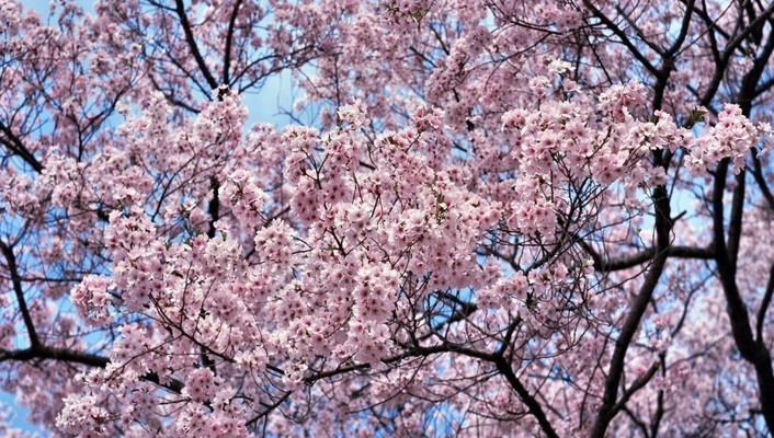 Japan cherry blossoms trees flowers wallpaper