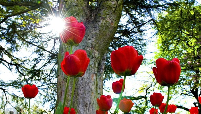 Red tulips in the sun wallpaper