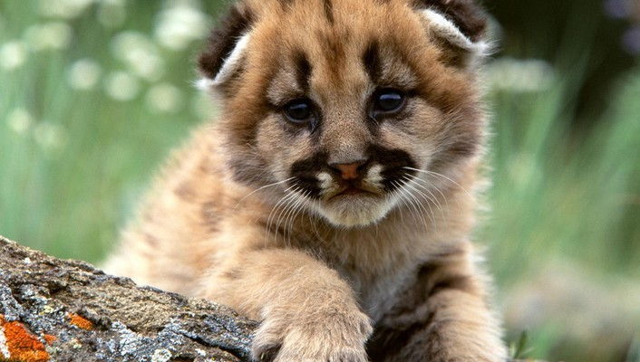 Cute lion cub wallpaper