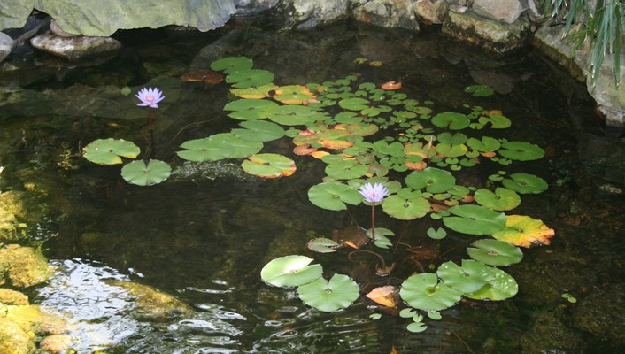 Lotus in the pond at garden wallpaper