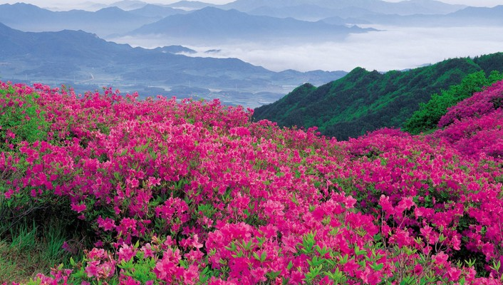 Hillside rhododendrons wallpaper