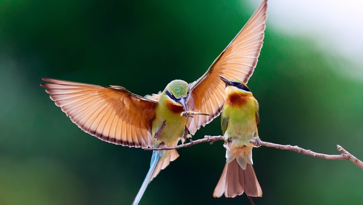 Birds animals bee eaters wallpaper