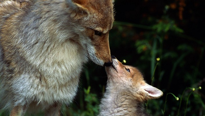Mother fox and baby wallpaper