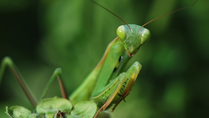 Insects praying mantis wallpaper