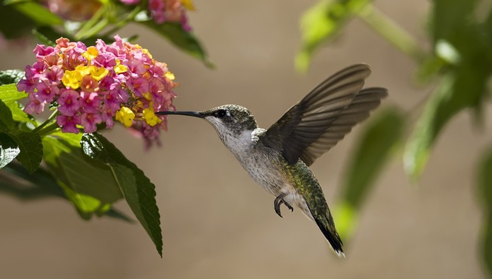 Colibri flowers hummingbirds wallpaper