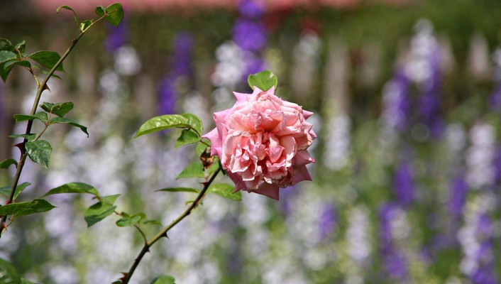 Flowers bokeh roses pink wallpaper