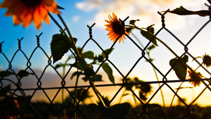 Sunset clouds nature artistic flowers fences artwork sunflowers wallpaper