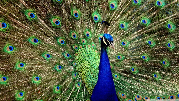 Peacock displaying wallpaper