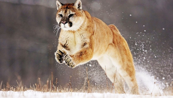 Animals cougars mountain lions wallpaper