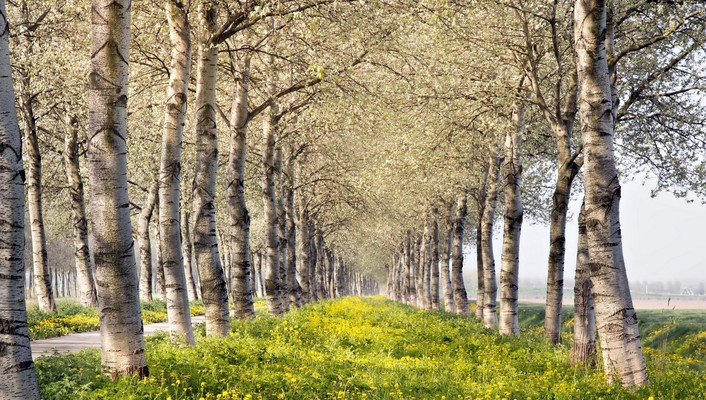 Rows of lovely birch trees in spring wallpaper