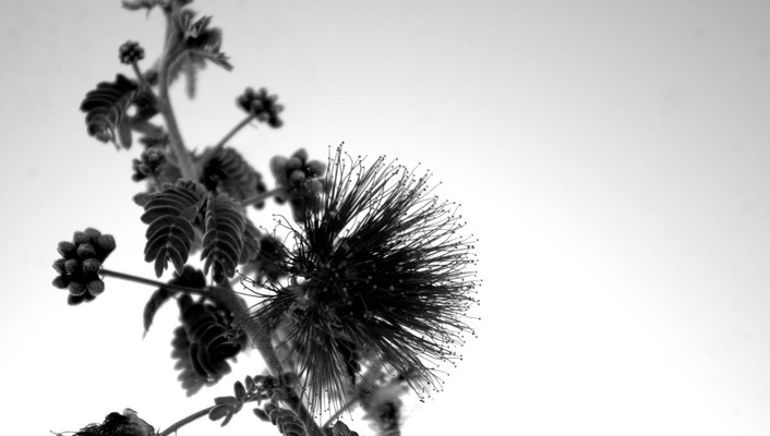 Mimosa contrast flowers macro monochrome wallpaper