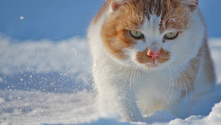 Snow cats animals green eyes wallpaper