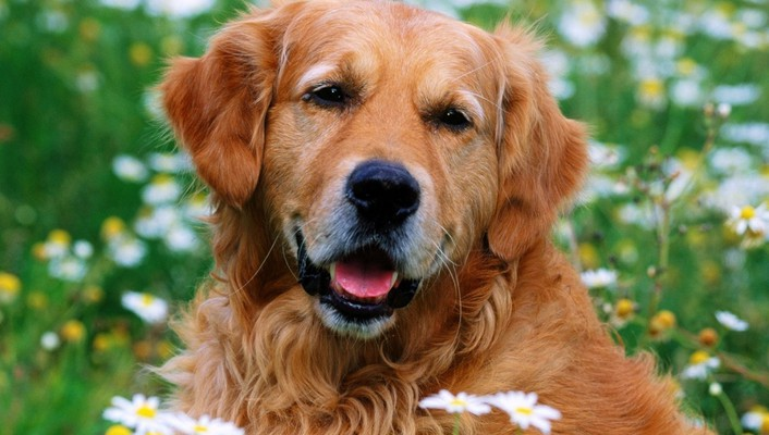 Animals dogs golden retriever daisies wallpaper