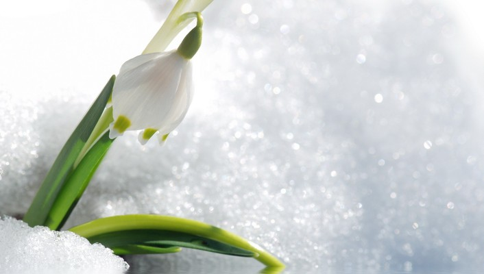 Snowdrop in snow wallpaper