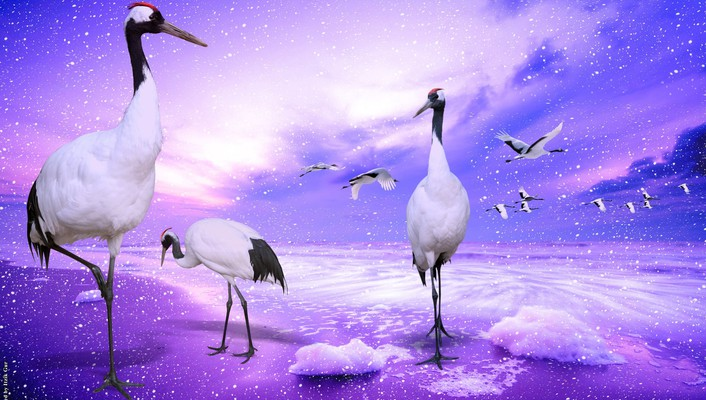 China japan cranes nature red wallpaper
