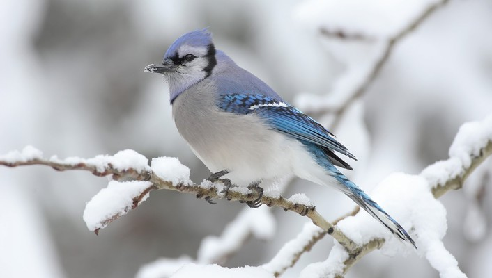 Blue jay birds wallpaper