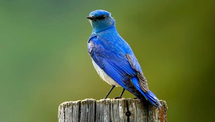 Birds bluebirds wallpaper