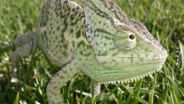 Chameleons grass reptiles wallpaper