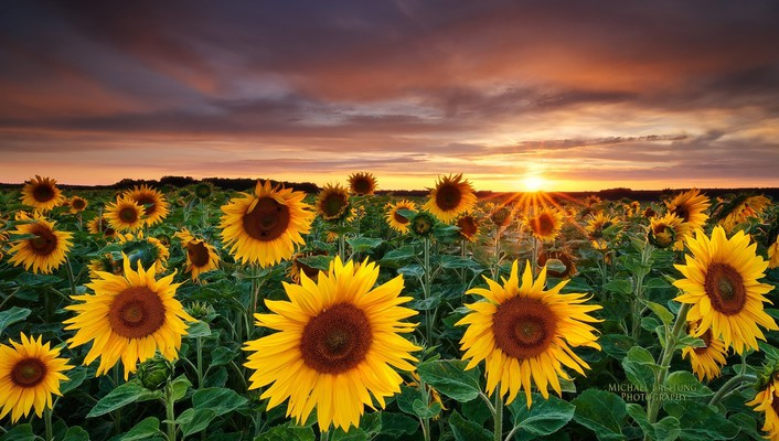 Fields nature sunflowers yellow flowers wallpaper