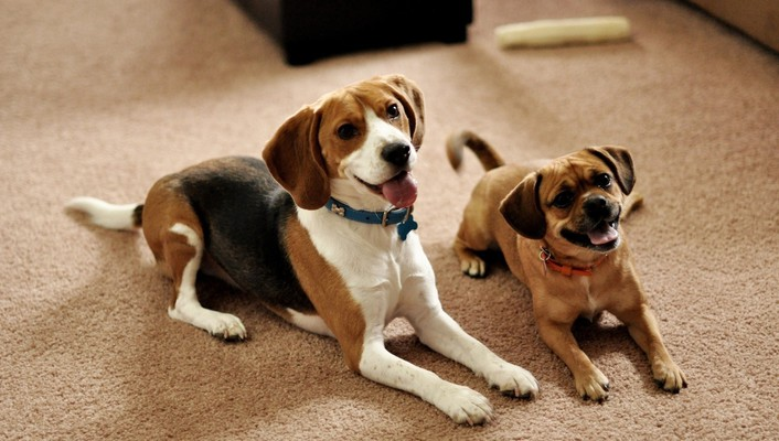 Animals dogs puppies couple beagle waiting wallpaper