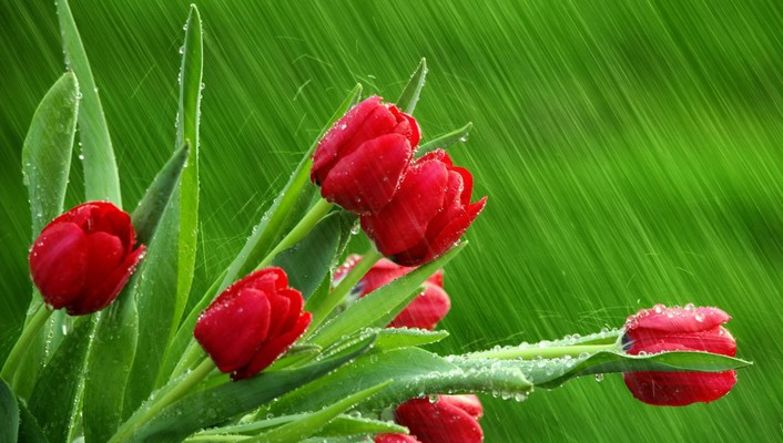 Macro rain red flowers tulips wet wallpaper