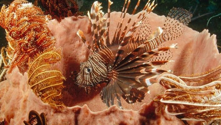 Fish lionfish wallpaper