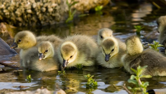 Animals baby birds duckling ducks wallpaper