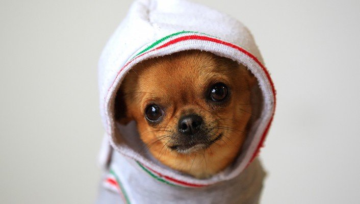 Animals dogs funny chihuahua wallpaper