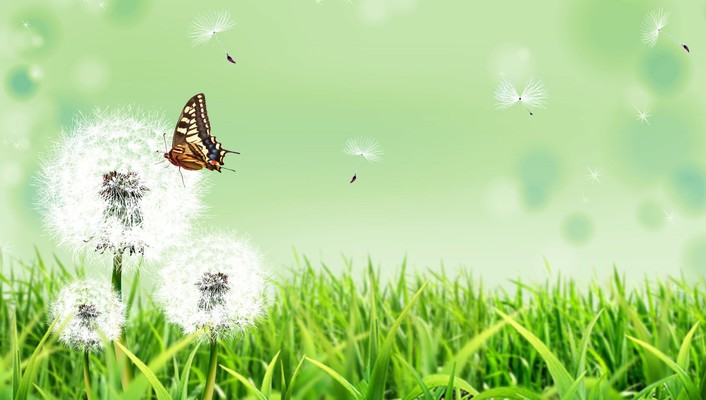 Butterfly on dandelion flower wallpaper