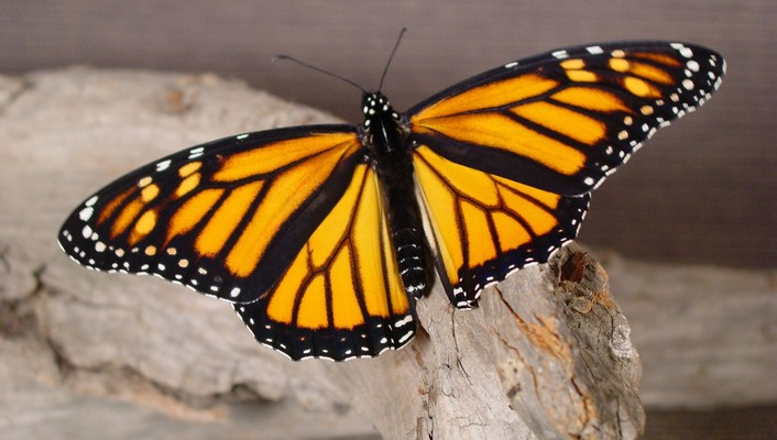 Butterflies insects monarch nature wallpaper