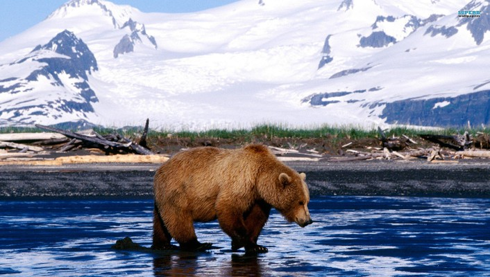 Animals bears snow landscapes wallpaper