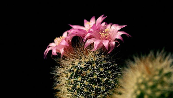 Black background cactus flowers wallpaper