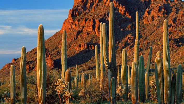 Organ pipe cactus np arizona wallpaper