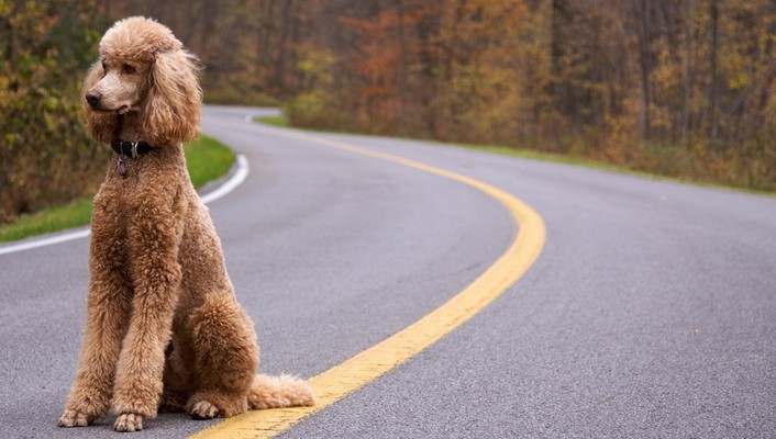 Animals dogs roads poodle wallpaper