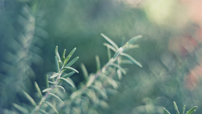 Herbs rosemary wallpaper