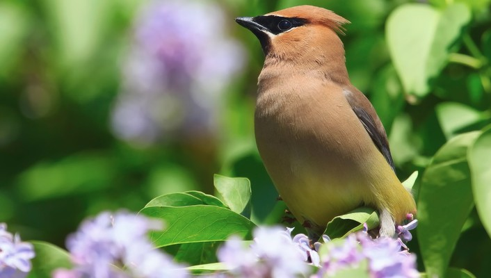 Nature flowers birds waxwing wallpaper