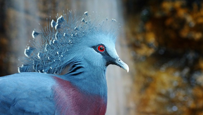 Birds crowned pigeon wallpaper