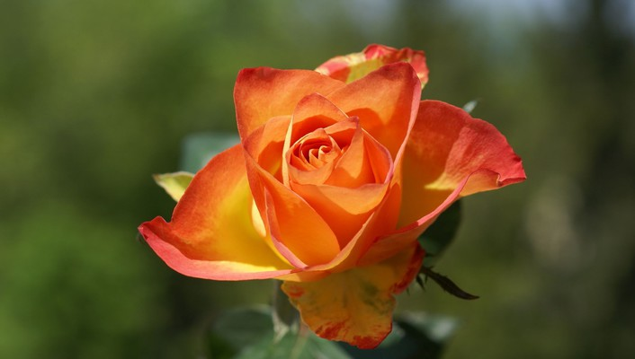 Dark orange tipped rose wallpaper