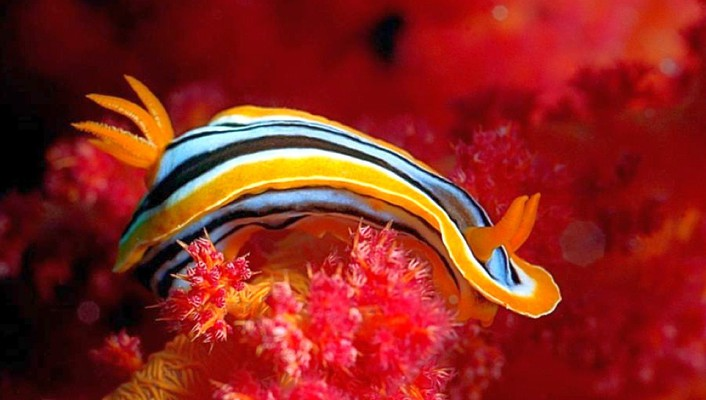 Nature animals nudibranchia sea slugs wallpaper