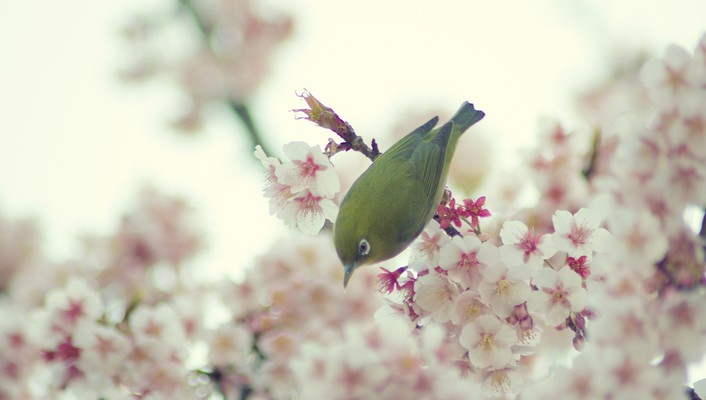Japanese whiteeye birds cherry blossoms nature wallpaper