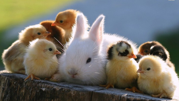 Cute rabbit and chicks wallpaper