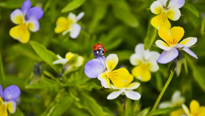 Flowers ladybirds macro wallpaper