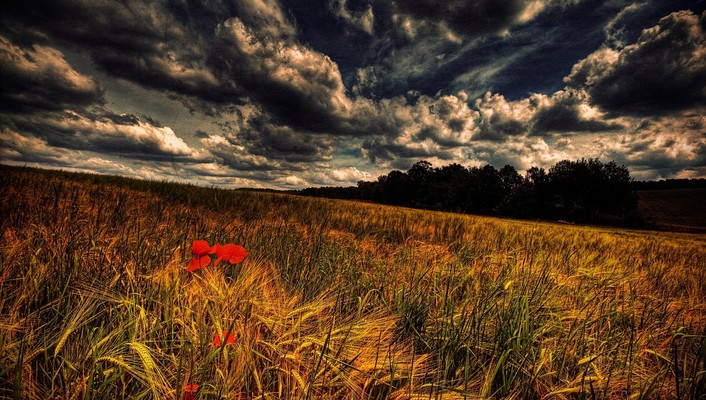 Grain and poppies wallpaper
