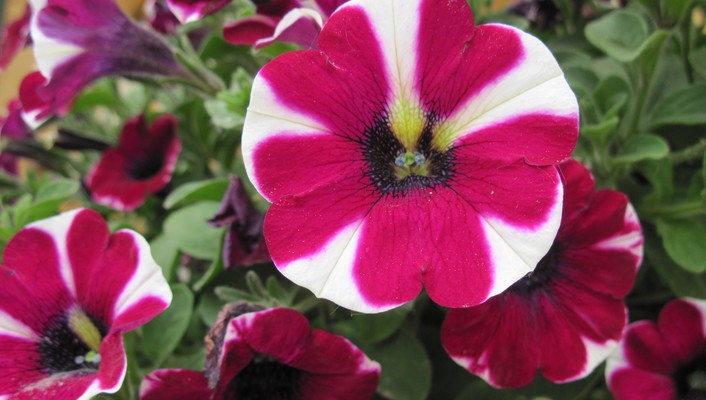 Beautiful peppermint petunias wallpaper