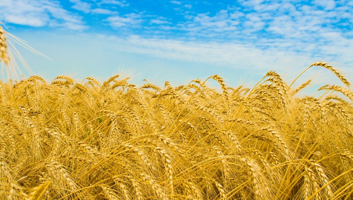 Golden nature wheat wallpaper
